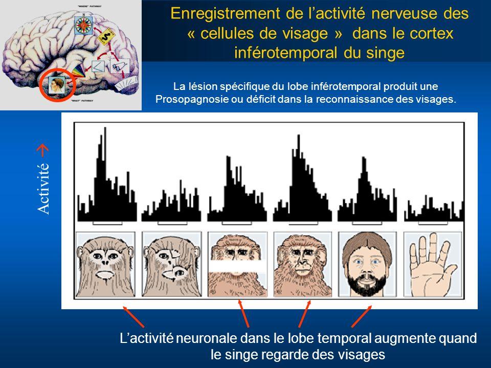 Enregistrement de lactivité nerveuse des « cellules de visage » dans le cortex inférotemporal du singe Lactivité neuronale dans le lobe temporal augme