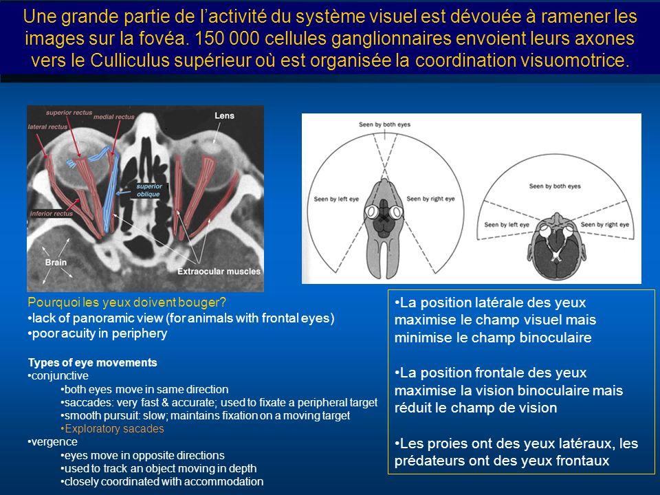 La position latérale des yeux maximise le champ visuel mais minimise le champ binoculaire La position frontale des yeux maximise la vision binoculaire