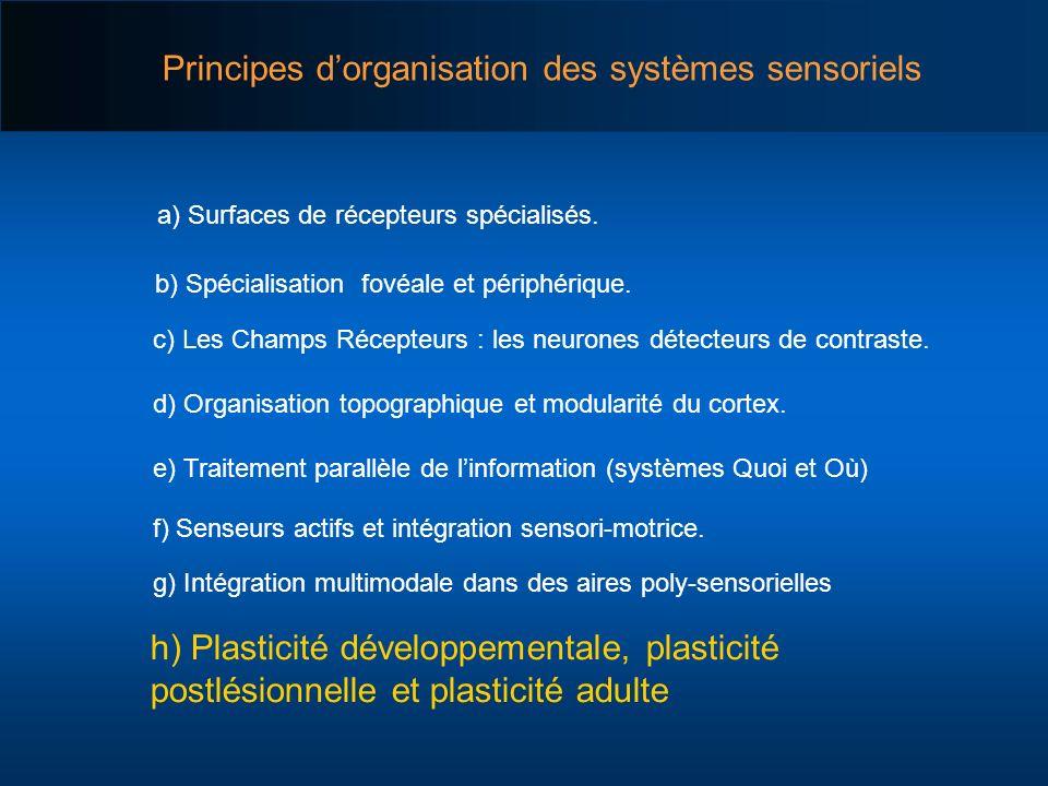 Principes dorganisation des systèmes sensoriels a) Surfaces de récepteurs spécialisés. c) Les Champs Récepteurs : les neurones détecteurs de contraste