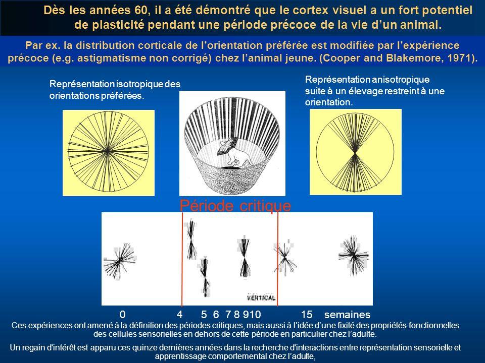 Par ex. la distribution corticale de lorientation préférée est modifiée par lexpérience précoce (e.g. astigmatisme non corrigé) chez lanimal jeune. (C