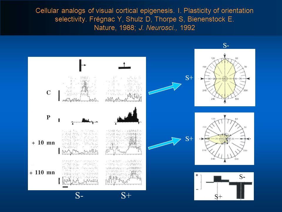 Cellular analogs of visual cortical epigenesis. I. Plasticity of orientation selectivity. Frégnac Y, Shulz D, Thorpe S, Bienenstock E. Nature, 1988; J