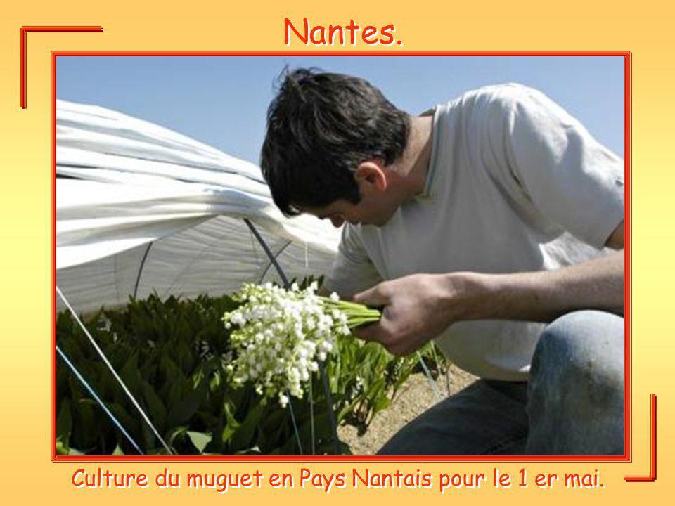 Nantes. Culture du muguet en Pays Nantais pour le 1 er mai.