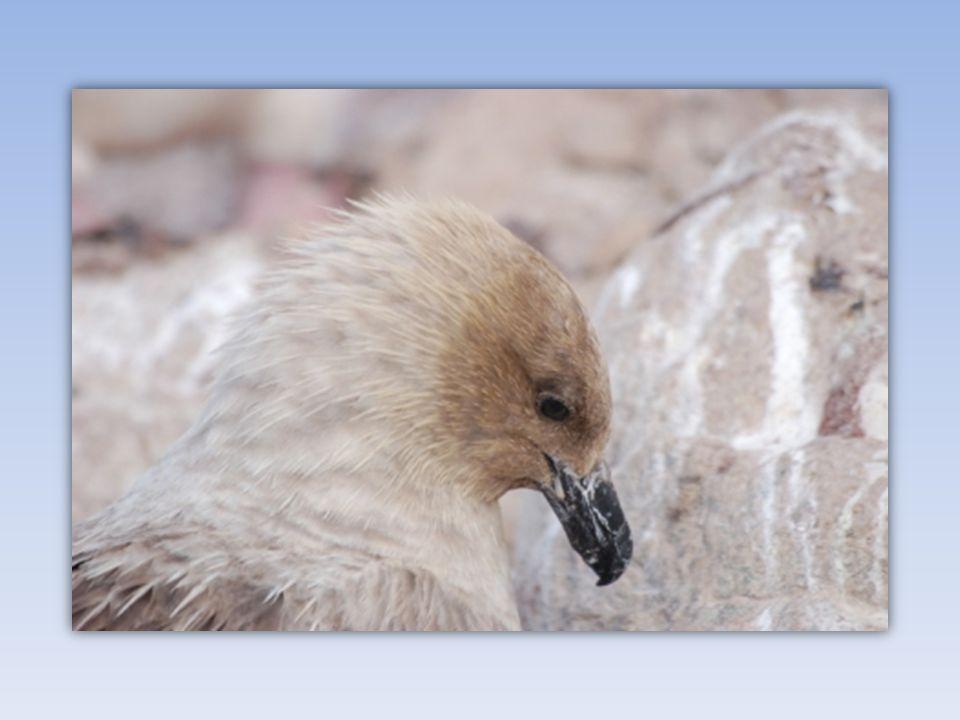 Les skuas sont caractérisés par un corps robuste au plumage brun. Leur profil est proche de celui des goélands. Ils sont principalement charognards, m