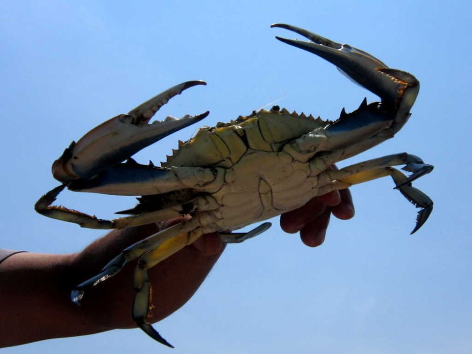 Nous rencontrons des pêcheurs qui attirent des tortues marines avec des crabes bleus