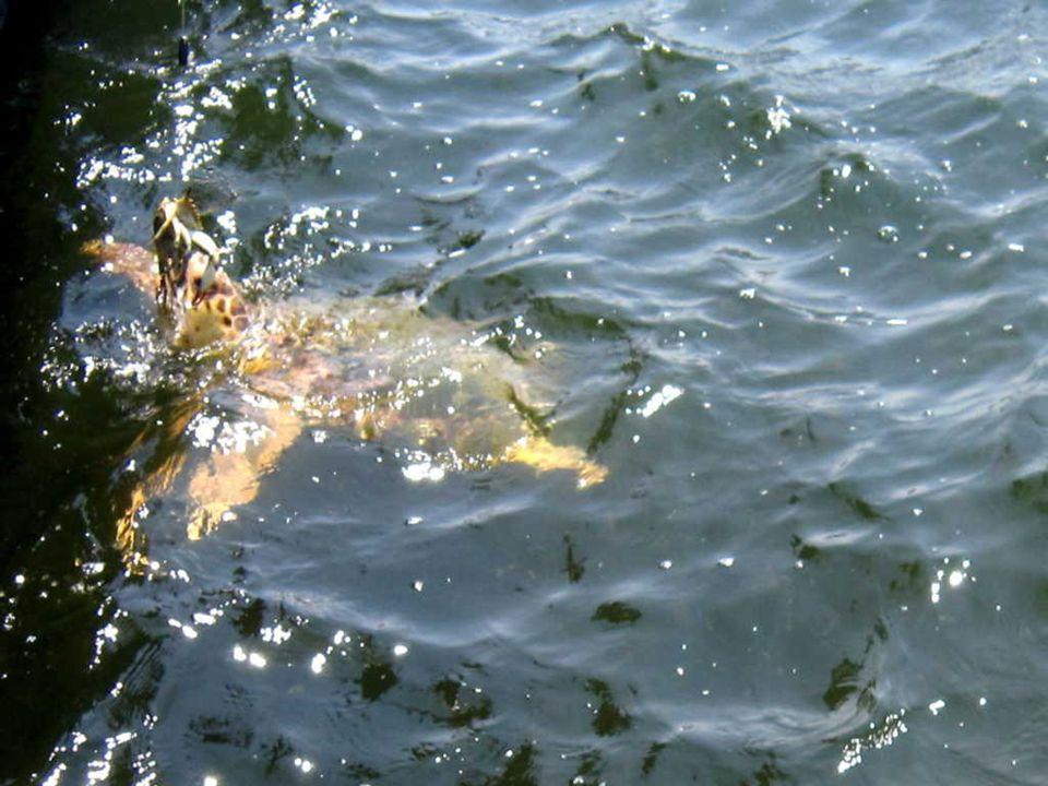 Ces tortues de mer Caretta caretta viennent se reproduire sur la plage dIztuzu, appelée également plage des tortues.