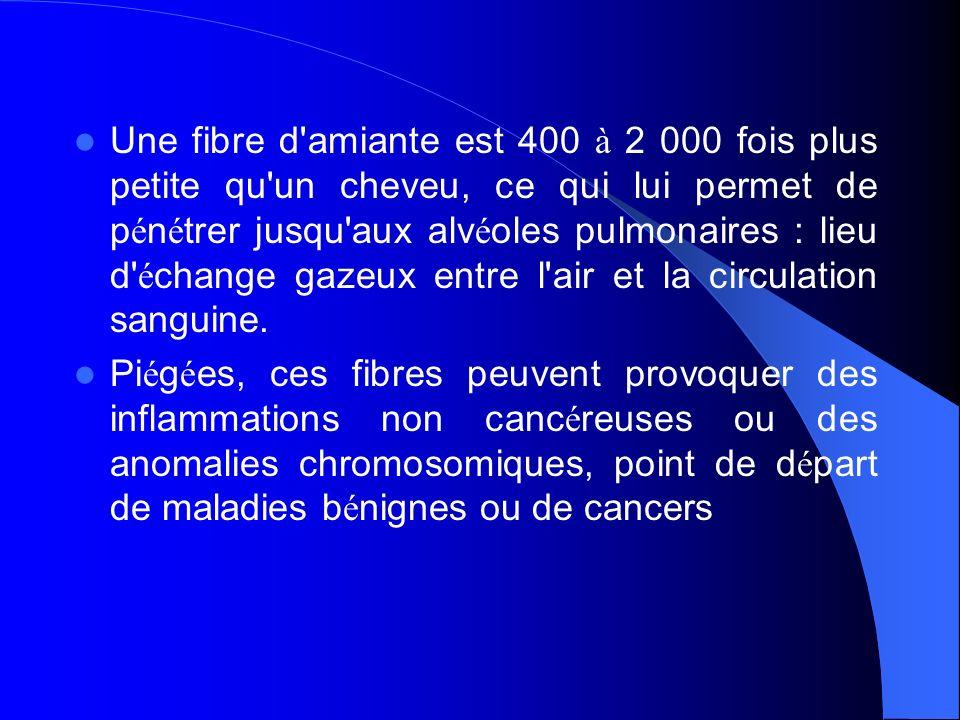 Une fibre d'amiante est 400 à 2 000 fois plus petite qu'un cheveu, ce qui lui permet de p é n é trer jusqu'aux alv é oles pulmonaires : lieu d' é chan