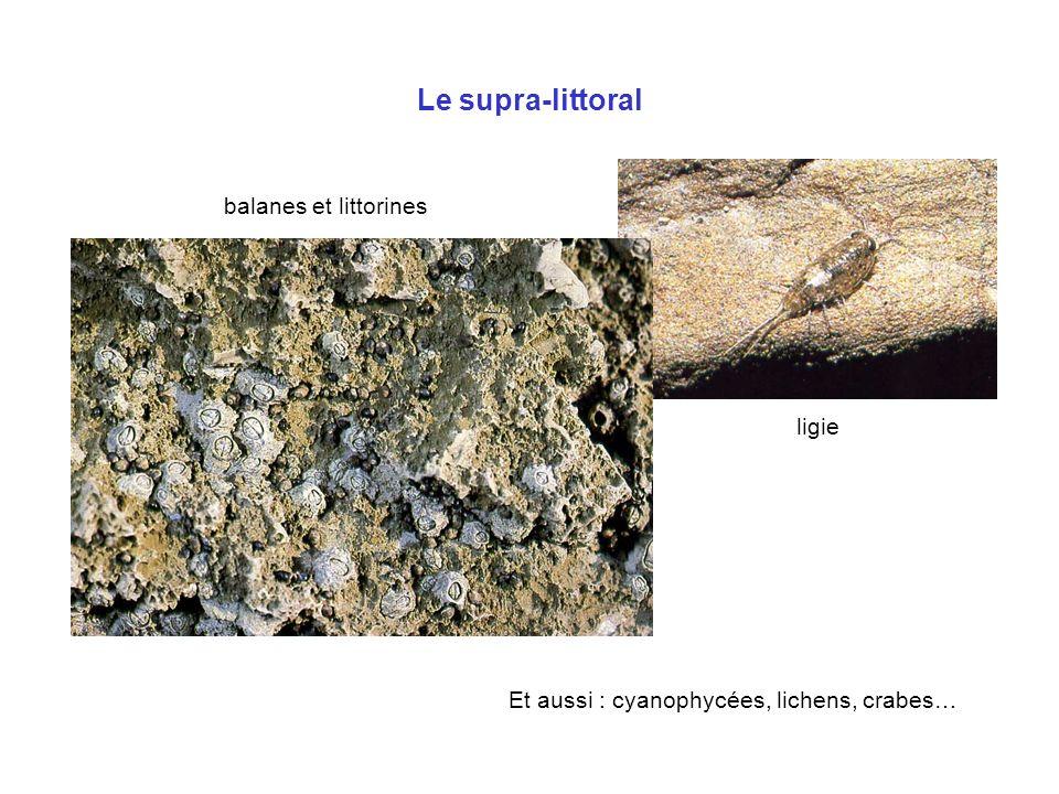 Le supra-littoral balanes et littorines ligie Et aussi : cyanophycées, lichens, crabes…