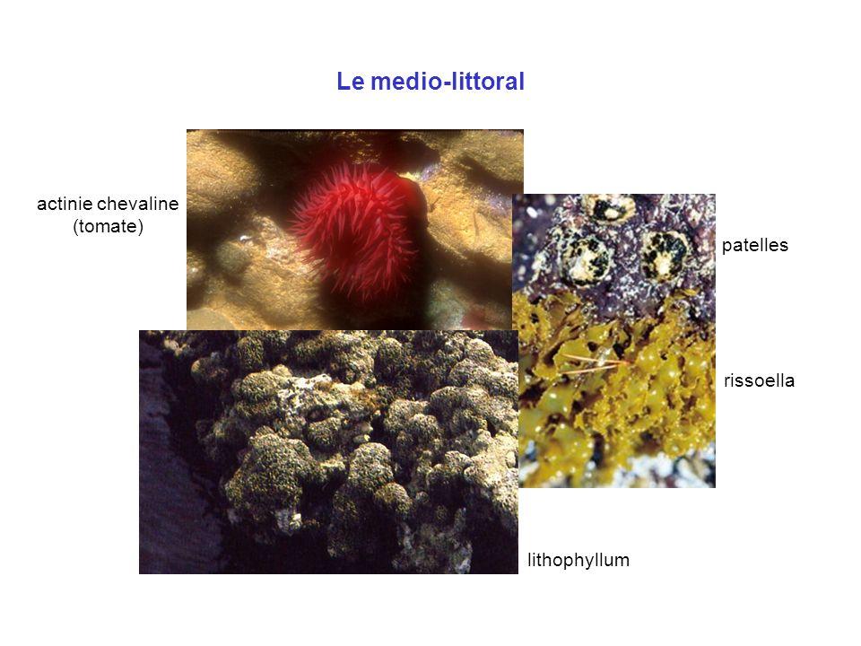 Le medio-littoral patelles rissoella actinie chevaline (tomate) lithophyllum