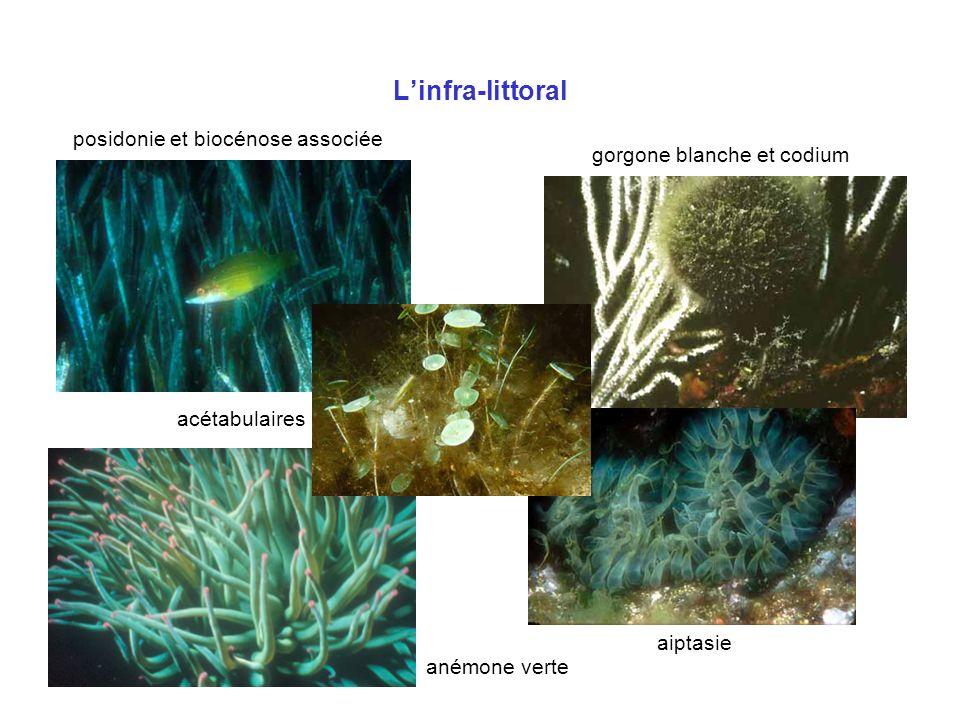 Linfra-littoral posidonie et biocénose associée gorgone blanche et codium aiptasie acétabulaires anémone verte