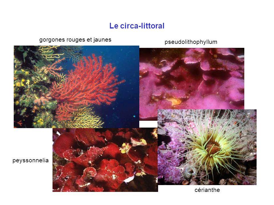 Le circa-littoral gorgones rouges et jaunes pseudolithophyllum cérianthe peyssonnelia