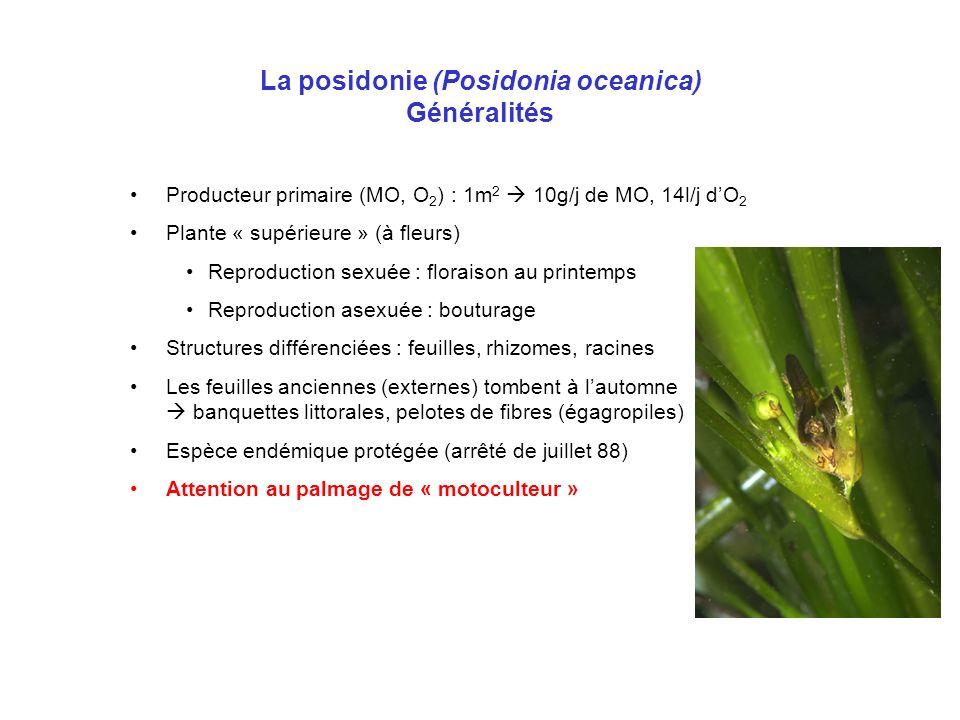 La posidonie (Posidonia oceanica) Généralités Producteur primaire (MO, O 2 ) : 1m 2 10g/j de MO, 14l/j dO 2 Plante « supérieure » (à fleurs) Reproduct