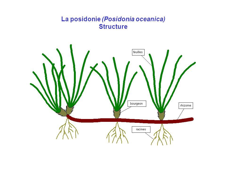 La posidonie (Posidonia oceanica) Structure