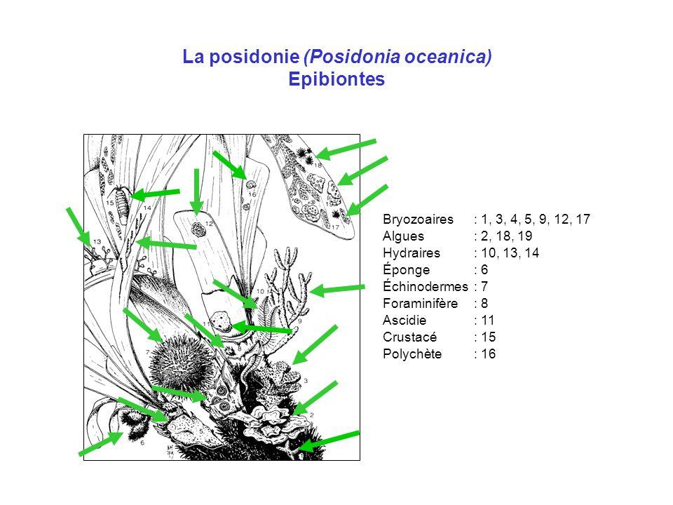 La posidonie (Posidonia oceanica) Epibiontes Bryozoaires: 1, 3, 4, 5, 9, 12, 17 Algues: 2, 18, 19 Hydraires: 10, 13, 14 Éponge: 6 Échinodermes: 7 Fora