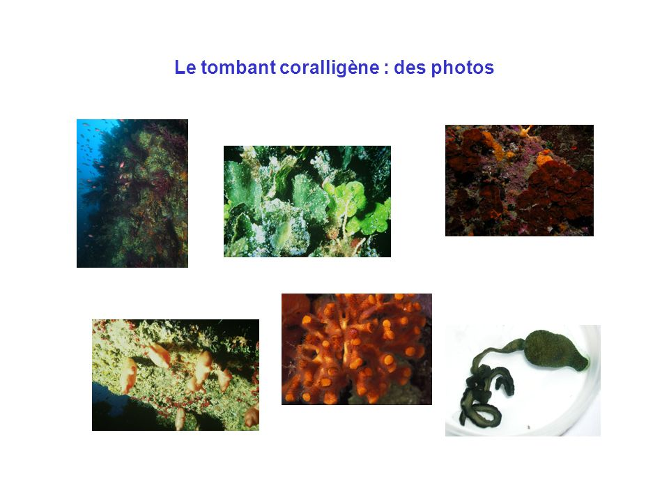 Le tombant coralligène : des photos