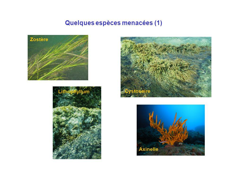 Quelques espèces menacées (1) Zostère Lithophyllum Axinelle Cystoseire