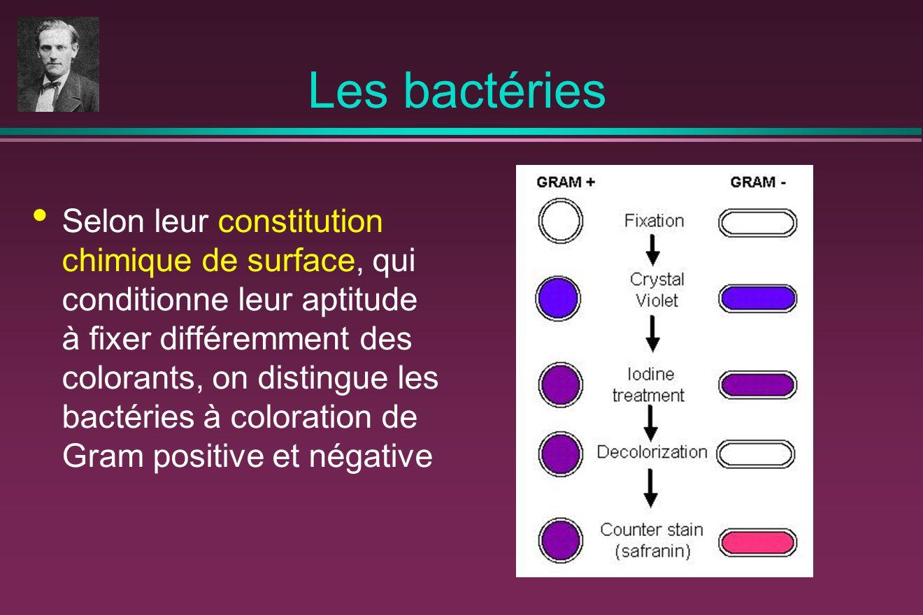 Les bactéries Selon leur constitution chimique de surface, qui conditionne leur aptitude à fixer différemment des colorants, on distingue les bactéries à coloration de Gram positive et négative