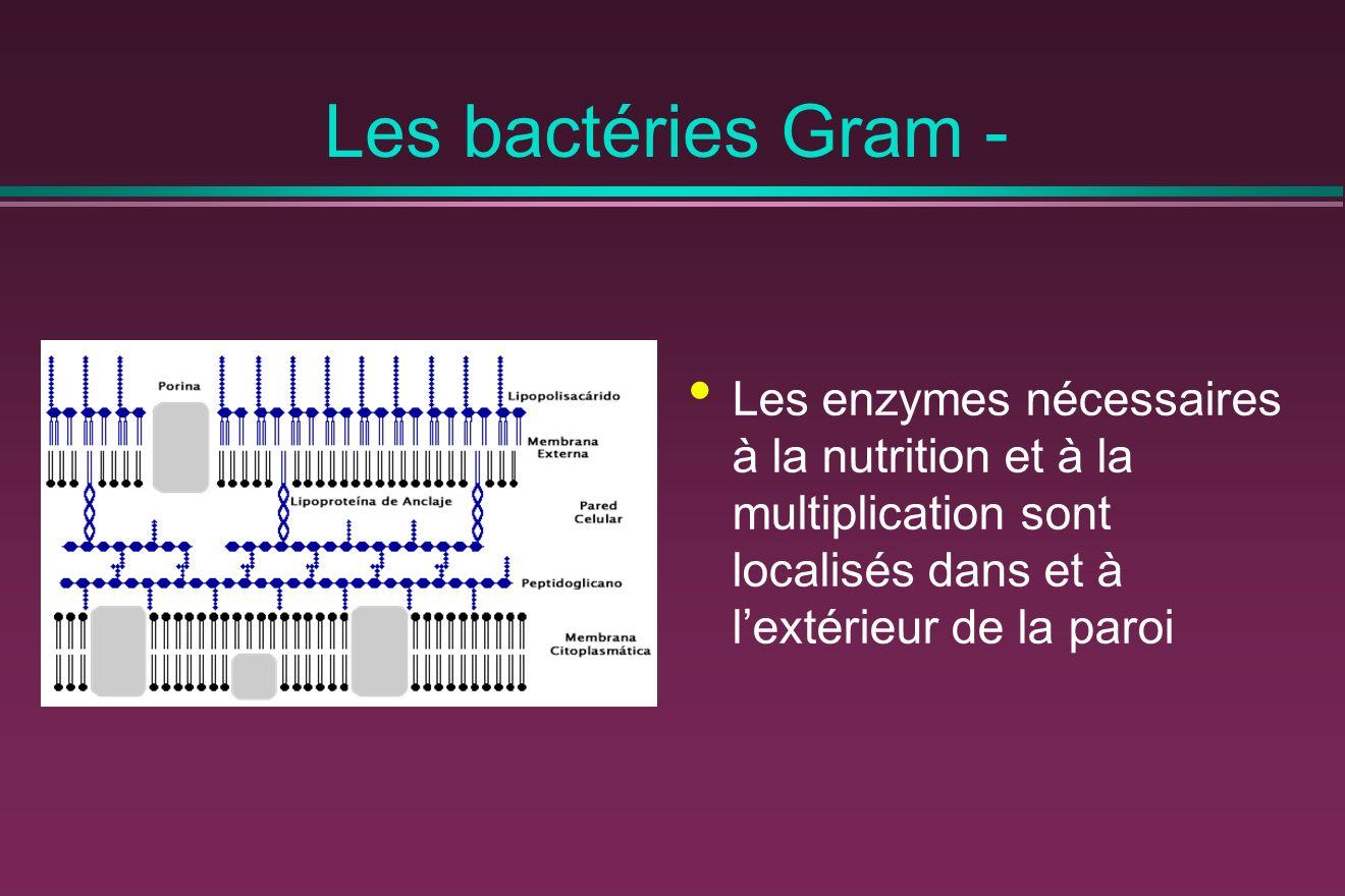 Les bactéries Gram - Les enzymes nécessaires à la nutrition et à la multiplication sont localisés dans et à lextérieur de la paroi