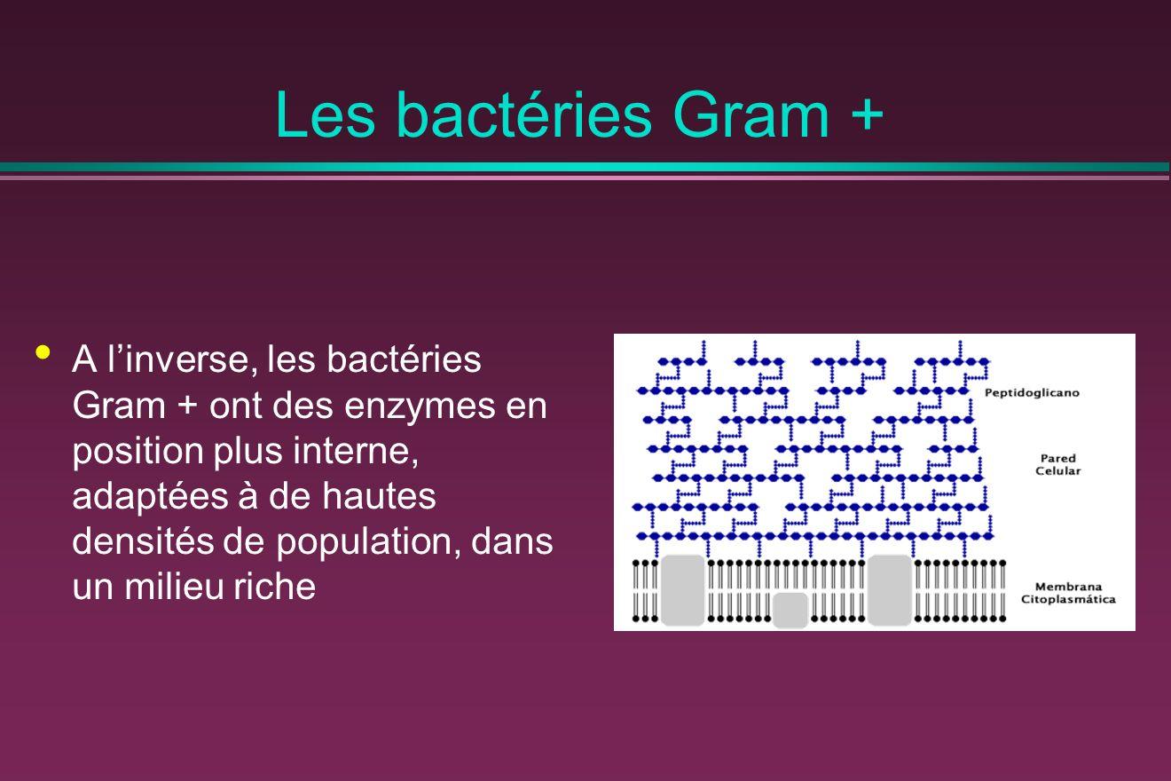 Les bactéries Gram + A linverse, les bactéries Gram + ont des enzymes en position plus interne, adaptées à de hautes densités de population, dans un milieu riche