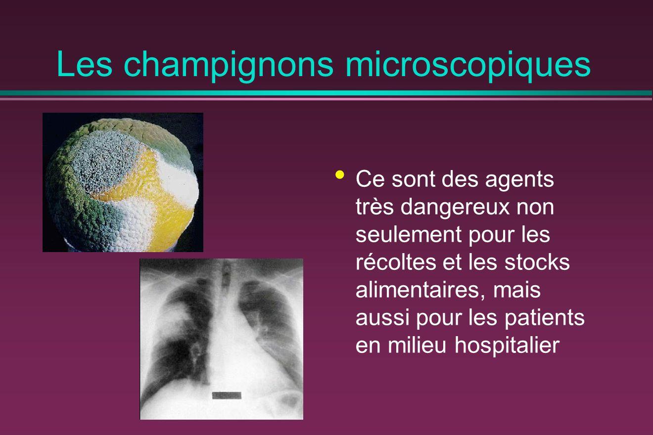 Les champignons microscopiques Ce sont des agents très dangereux non seulement pour les récoltes et les stocks alimentaires, mais aussi pour les patients en milieu hospitalier