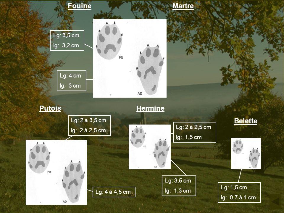 Fouine Martre Putois Hermine Belette Lg: 3,5 cm lg: 3,2 cm Lg: 4 cm lg: 3 cm Lg: 2 à 3,5 cm lg: 2 à 2,5 cm Lg: 4 à 4,5 cm Lg: 2 à 2,5 cm lg: 1,5 cm Lg