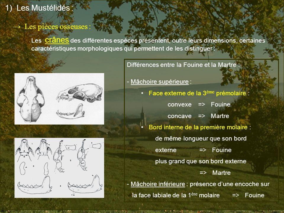 1) Les Mustélidés : Les pièces osseuses : Les crânes des différentes espèces présentent, outre leurs dimensions, certaines caractéristiques morphologi