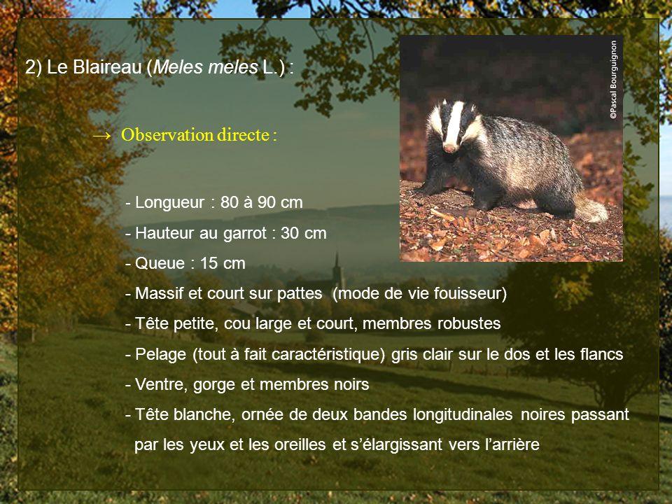2) Le Blaireau (Meles meles L.) : Observation directe : - Longueur : 80 à 90 cm - Hauteur au garrot : 30 cm - Queue : 15 cm - Massif et court sur patt