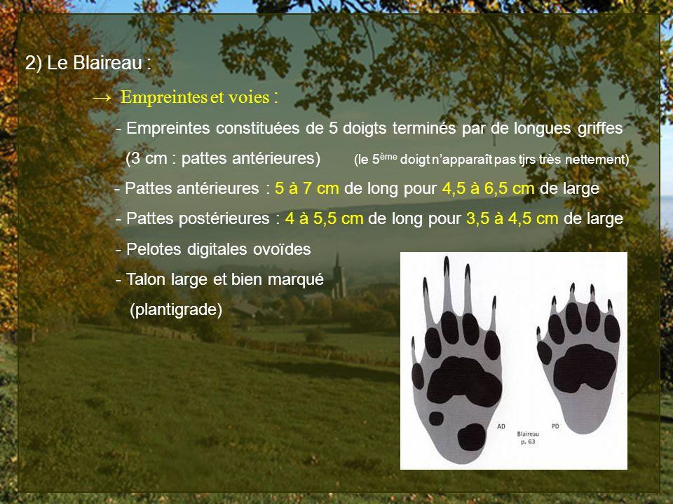 2) Le Blaireau : Empreintes et voies : - Empreintes constituées de 5 doigts terminés par de longues griffes (3 cm : pattes antérieures) (le 5 ème doig