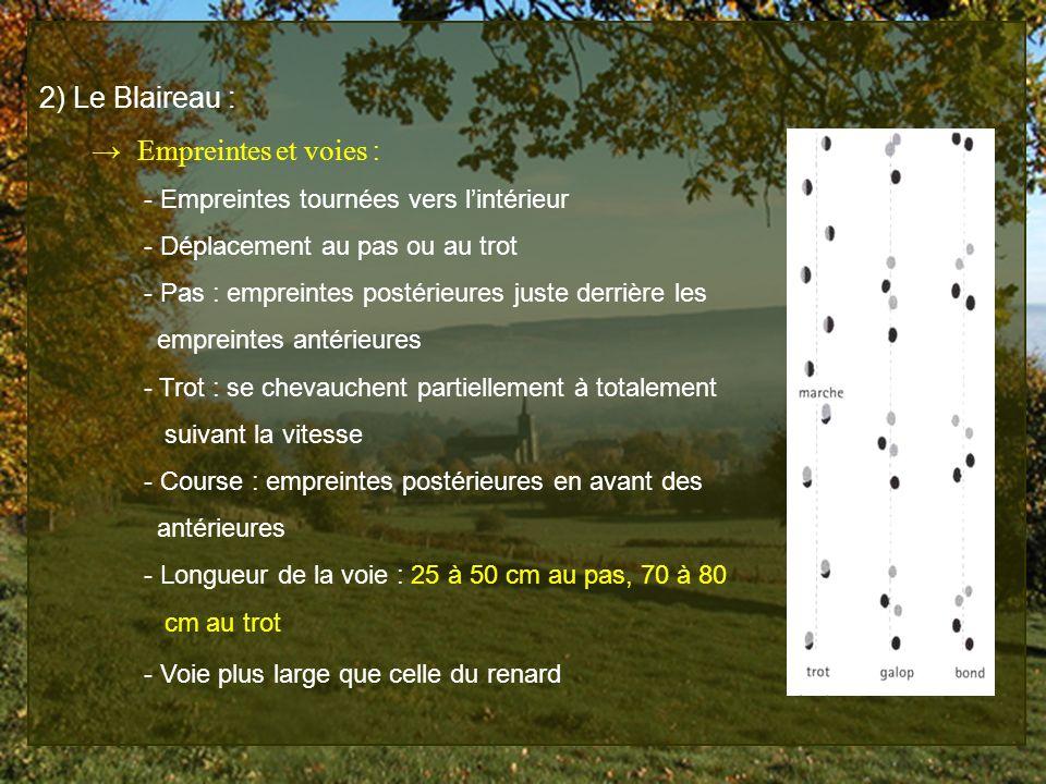 2) Le Blaireau : Empreintes et voies : - Empreintes tournées vers lintérieur - Déplacement au pas ou au trot - Pas : empreintes postérieures juste der