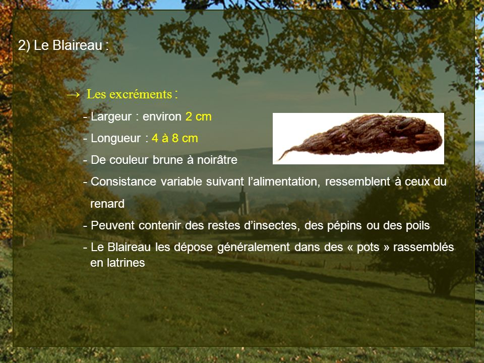 2) Le Blaireau : Les excréments : - Largeur : environ 2 cm - Longueur : 4 à 8 cm - De couleur brune à noirâtre - Consistance variable suivant laliment