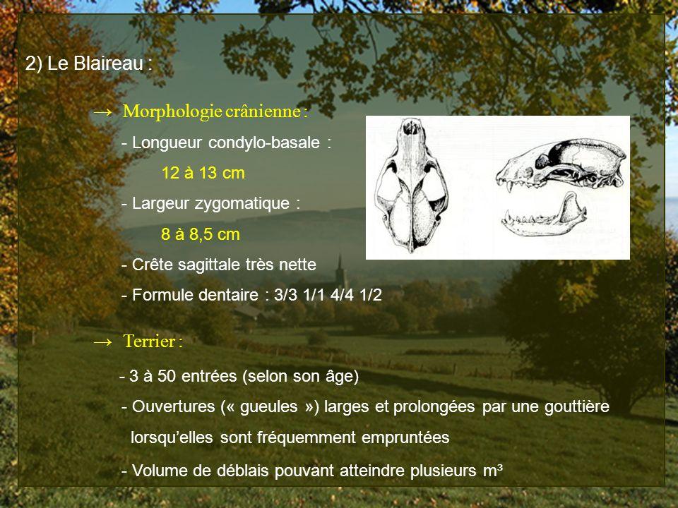 2) Le Blaireau : Morphologie crânienne : - Longueur condylo-basale : 12 à 13 cm - Largeur zygomatique : 8 à 8,5 cm - Crête sagittale très nette - Form