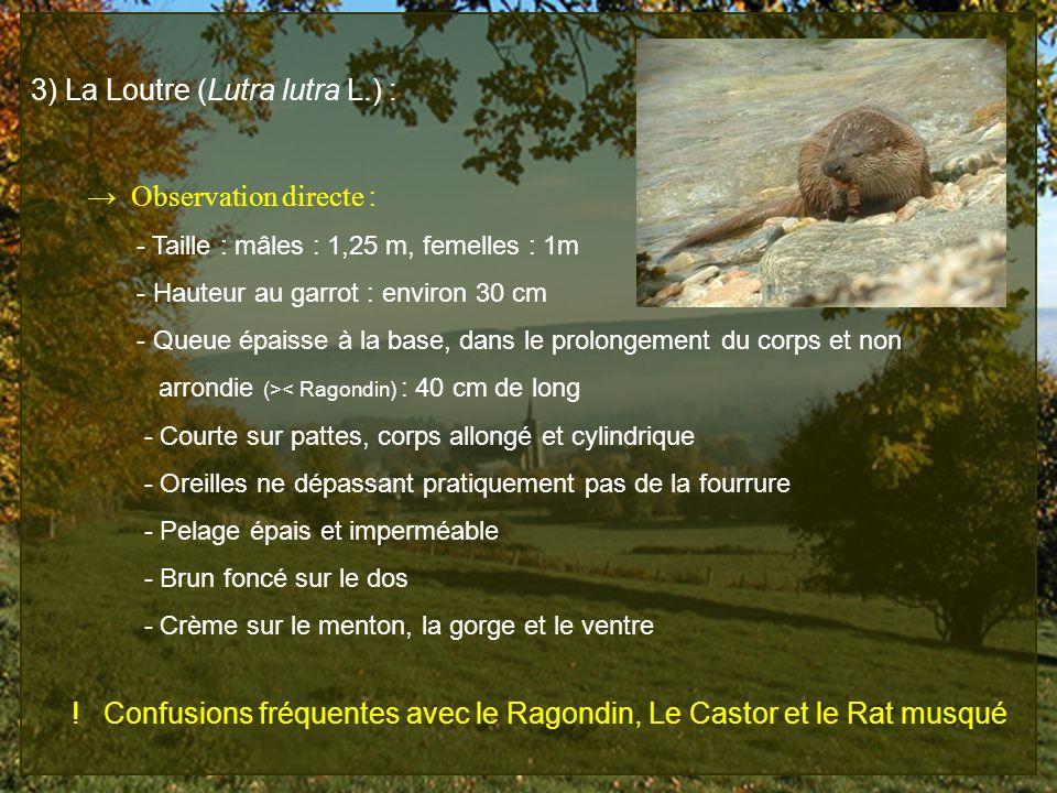 3) La Loutre (Lutra lutra L.) : Observation directe : - Taille : mâles : 1,25 m, femelles : 1m - Hauteur au garrot : environ 30 cm - Queue épaisse à l