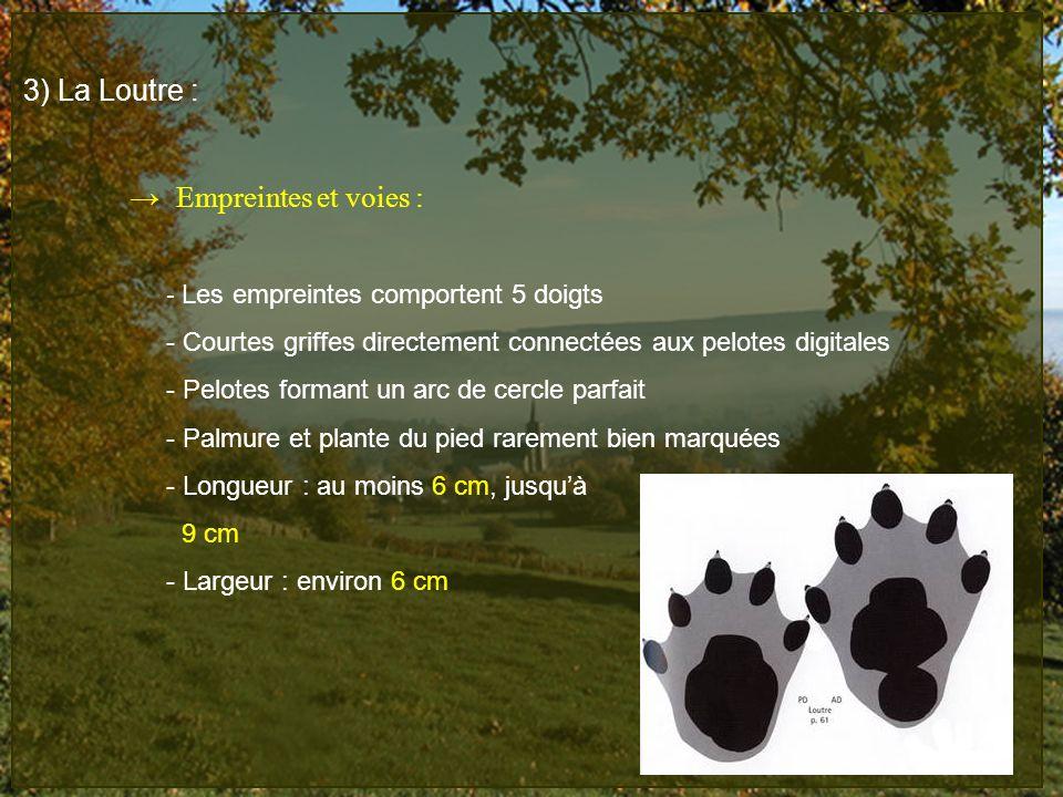 3) La Loutre : Empreintes et voies : - Les empreintes comportent 5 doigts - Courtes griffes directement connectées aux pelotes digitales - Pelotes for