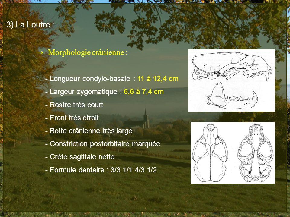 3) La Loutre : Morphologie crânienne : - Longueur condylo-basale : 11 à 12,4 cm - Largeur zygomatique : 6,6 à 7,4 cm - Rostre très court - Front très