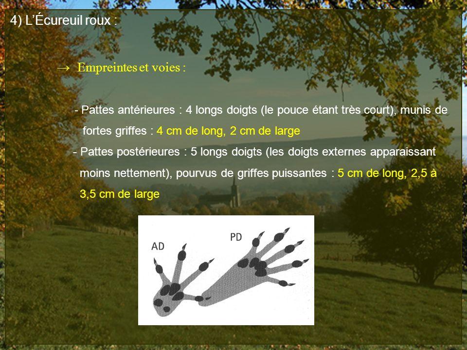 4) LÉcureuil roux : Empreintes et voies : - Pattes antérieures : 4 longs doigts (le pouce étant très court), munis de fortes griffes : 4 cm de long, 2