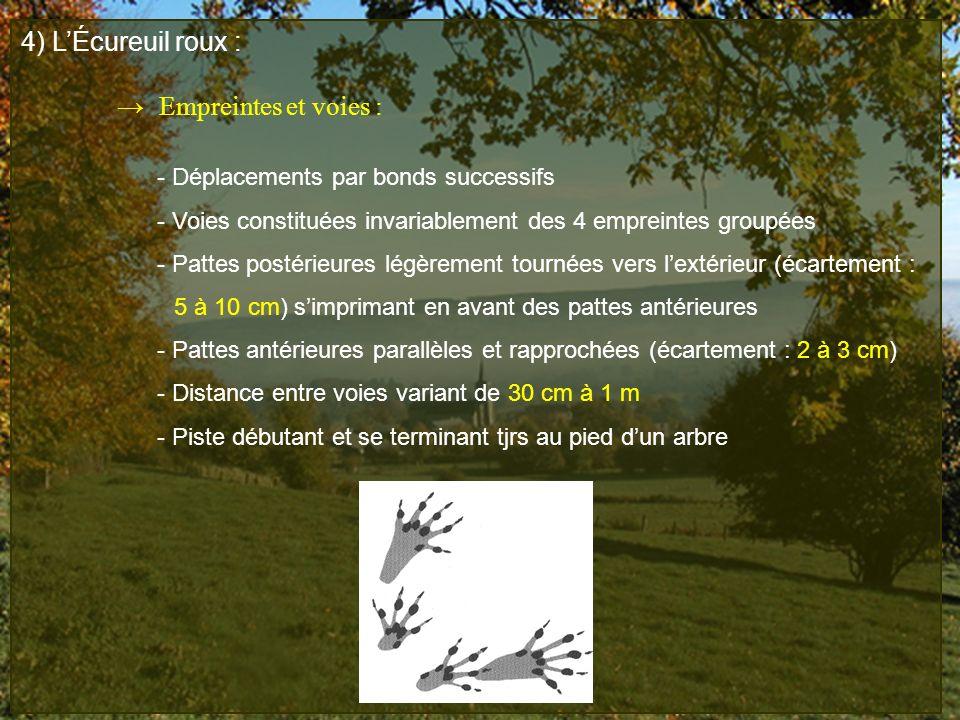 4) LÉcureuil roux : Empreintes et voies : - Déplacements par bonds successifs - Voies constituées invariablement des 4 empreintes groupées - Pattes po