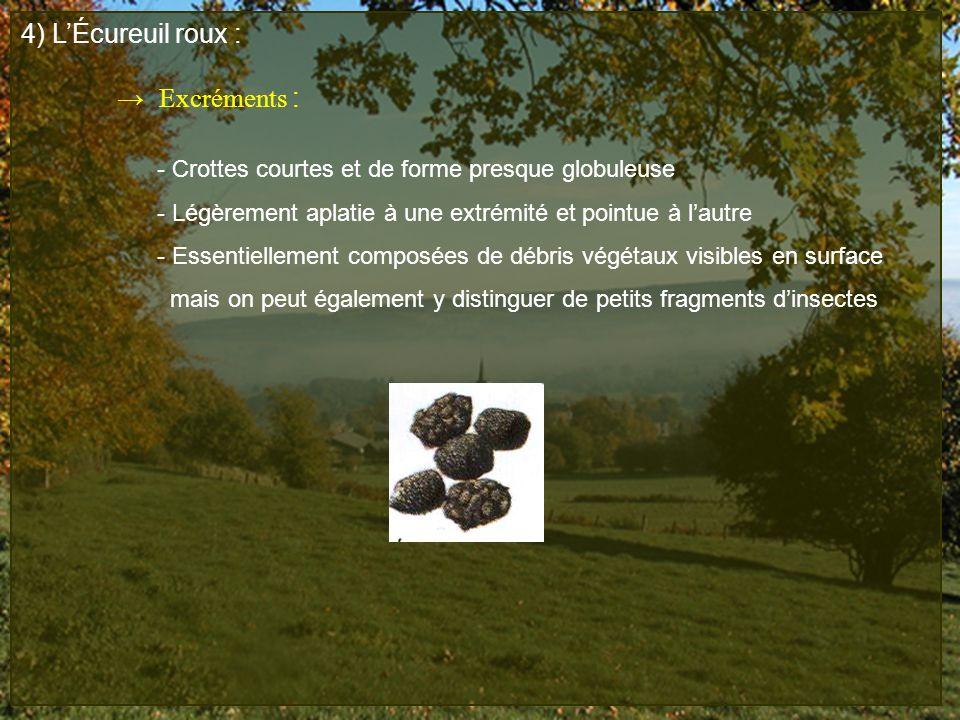 4) LÉcureuil roux : Excréments : - Crottes courtes et de forme presque globuleuse - Légèrement aplatie à une extrémité et pointue à lautre - Essentiel