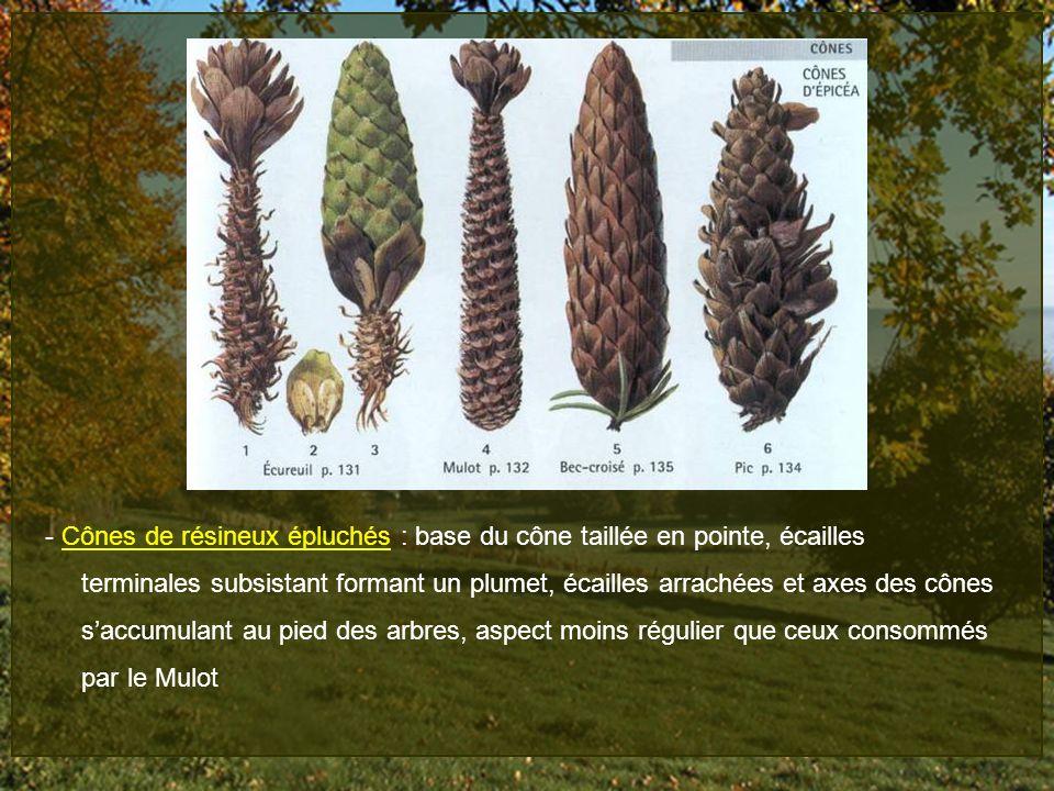 - Cônes de résineux épluchés : base du cône taillée en pointe, écailles terminales subsistant formant un plumet, écailles arrachées et axes des cônes