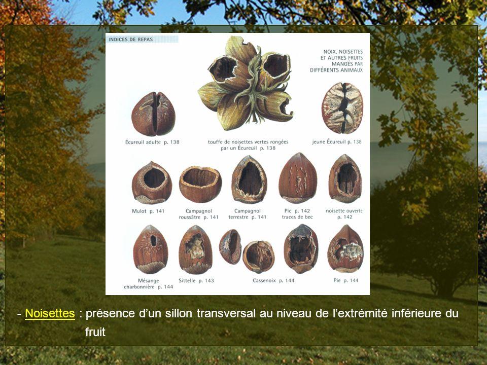 - Noisettes : présence dun sillon transversal au niveau de lextrémité inférieure du fruit