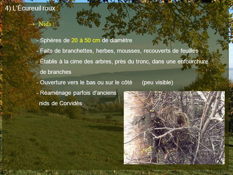 4) LÉcureuil roux : Nids : - Sphères de 20 à 50 cm de diamètre - Faits de branchettes, herbes, mousses, recouverts de feuilles - Établis à la cime des