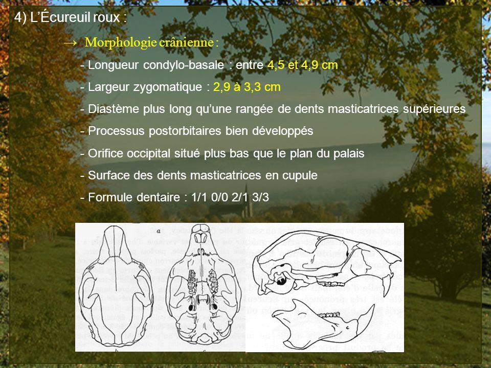 4) LÉcureuil roux : Morphologie crânienne : - Longueur condylo-basale : entre 4,5 et 4,9 cm - Largeur zygomatique : 2,9 à 3,3 cm - Diastème plus long