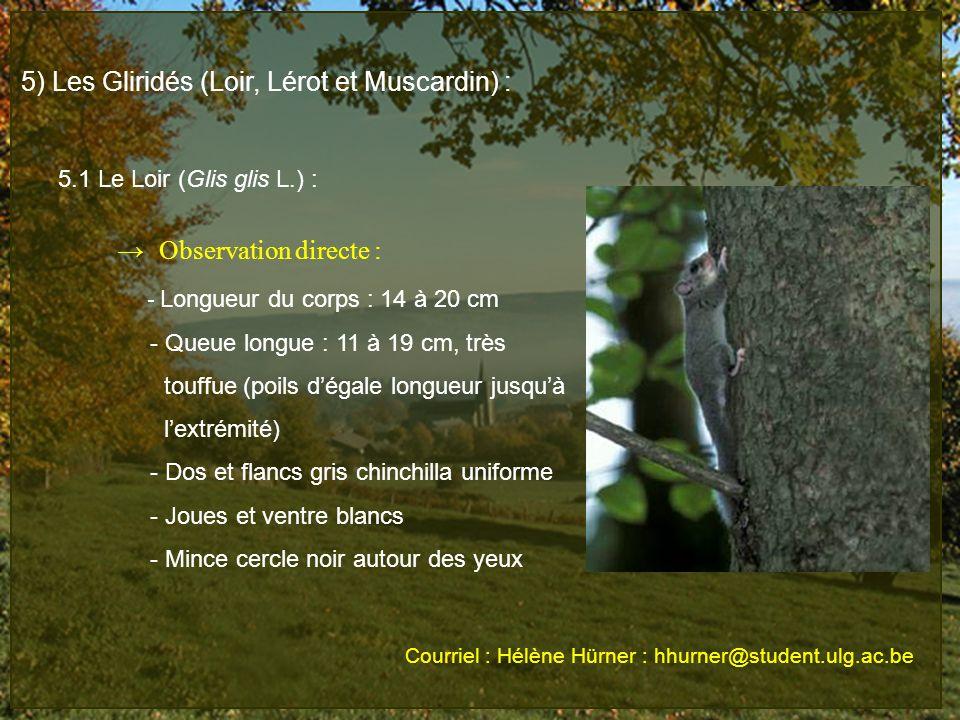 5) Les Gliridés (Loir, Lérot et Muscardin) : 5.1 Le Loir (Glis glis L.) : Observation directe : - Longueur du corps : 14 à 20 cm - Queue longue : 11 à