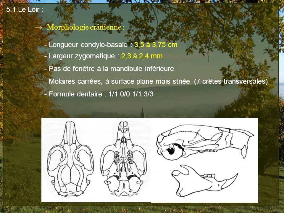 5.1 Le Loir : Morphologie crânienne : - Longueur condylo-basale : 3,5 à 3,75 cm - Largeur zygomatique : 2,3 à 2,4 mm - Pas de fenêtre à la mandibule i