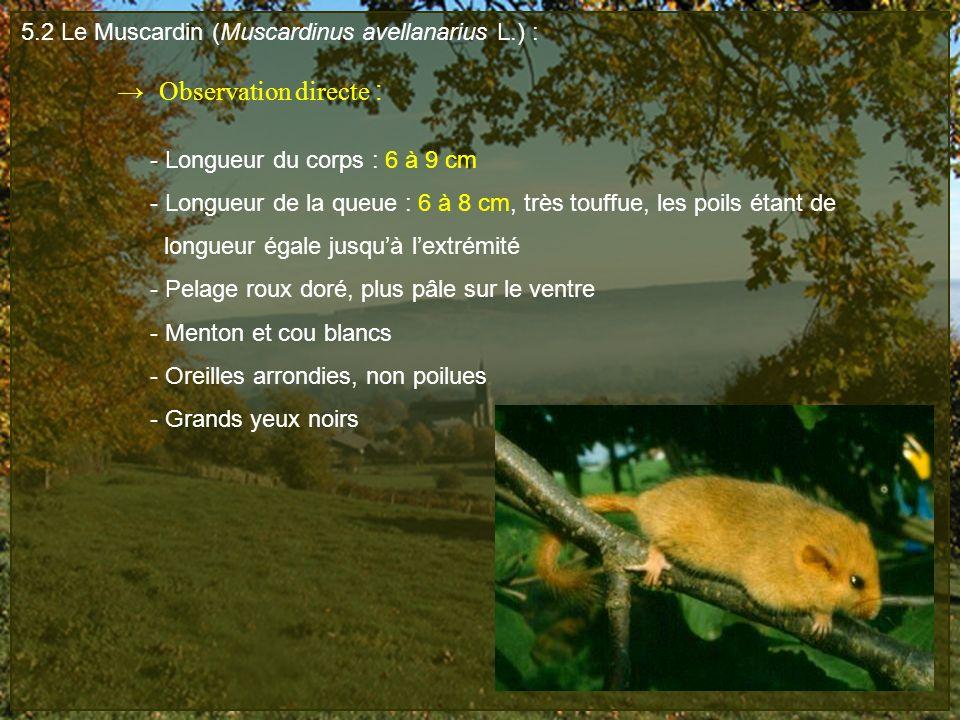5.2 Le Muscardin (Muscardinus avellanarius L.) : Observation directe : - Longueur du corps : 6 à 9 cm - Longueur de la queue : 6 à 8 cm, très touffue,