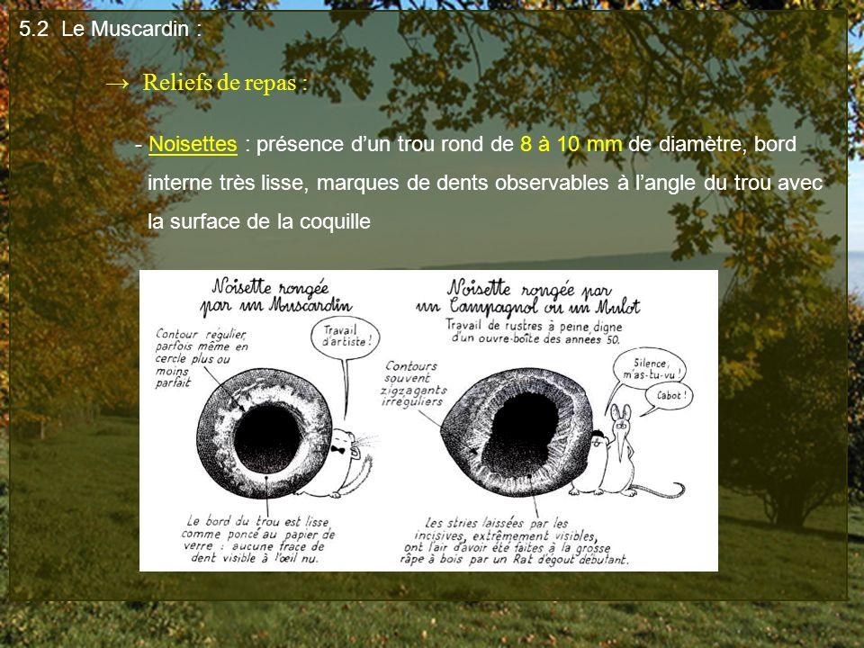 5.2 Le Muscardin : Reliefs de repas : - Noisettes : présence dun trou rond de 8 à 10 mm de diamètre, bord interne très lisse, marques de dents observa