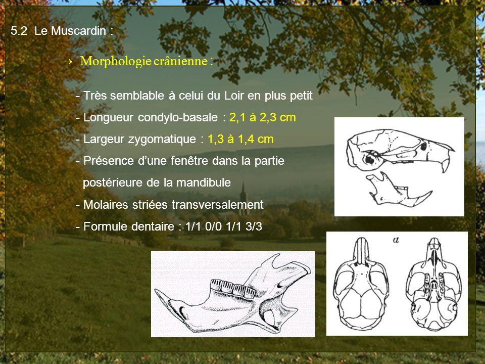 5.2 Le Muscardin : Morphologie crânienne : - Très semblable à celui du Loir en plus petit - Longueur condylo-basale : 2,1 à 2,3 cm - Largeur zygomatiq