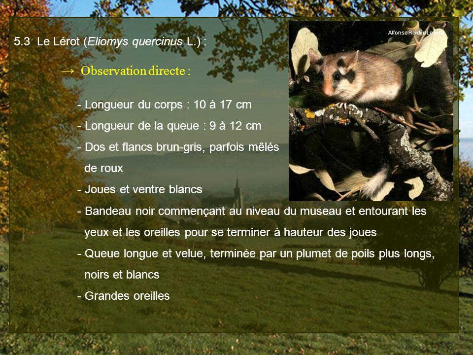 5.3 Le Lérot (Eliomys quercinus L.) : Observation directe : - Longueur du corps : 10 à 17 cm - Longueur de la queue : 9 à 12 cm - Dos et flancs brun-g