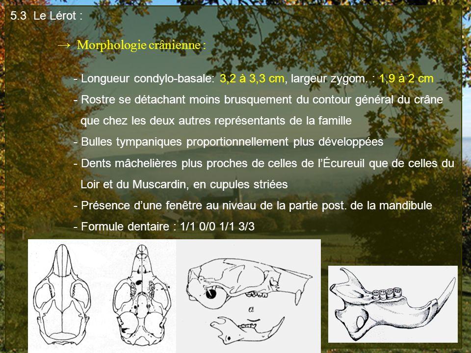 5.3 Le Lérot : Morphologie crânienne : - Longueur condylo-basale: 3,2 à 3,3 cm, largeur zygom. : 1,9 à 2 cm - Rostre se détachant moins brusquement du