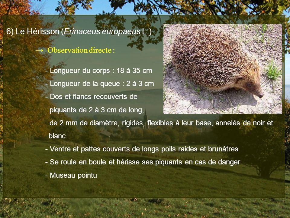6) Le Hérisson (Erinaceus europaeus L.) : Observation directe : - Longueur du corps : 18 à 35 cm - Longueur de la queue : 2 à 3 cm - Dos et flancs rec