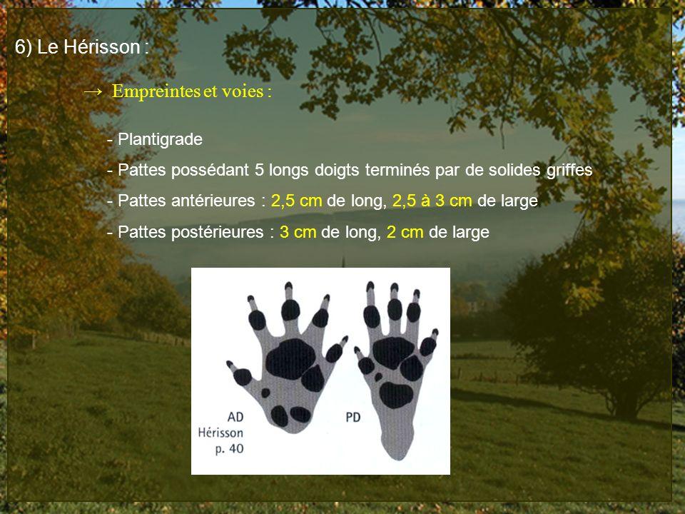 6) Le Hérisson : Empreintes et voies : - Plantigrade - Pattes possédant 5 longs doigts terminés par de solides griffes - Pattes antérieures : 2,5 cm d