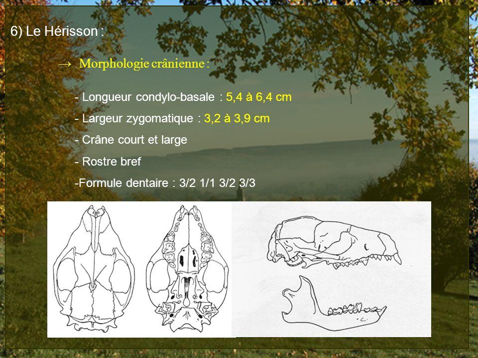 6) Le Hérisson : Morphologie crânienne : - Longueur condylo-basale : 5,4 à 6,4 cm - Largeur zygomatique : 3,2 à 3,9 cm - Crâne court et large - Rostre